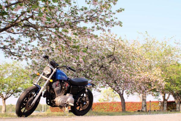 遅咲きの桜でしょうか?