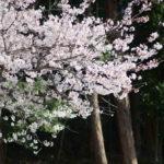 桜咲く E-Zuiko 135mm F2.8